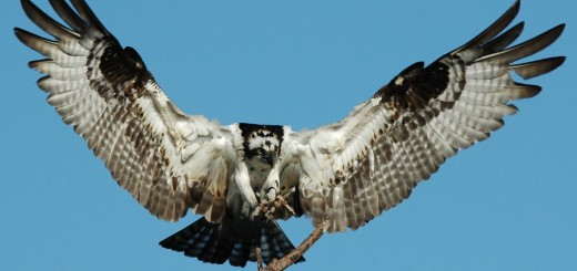 Osprey-by-Bill-Munro