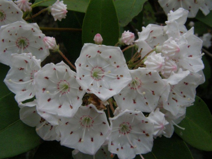 MountainLaurel.StumpyPond
